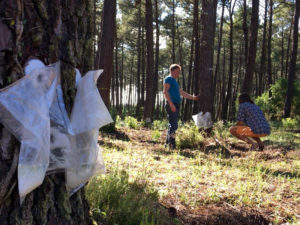 Double care et poches pour la récolte écoresponsable de résine de pin des Landes